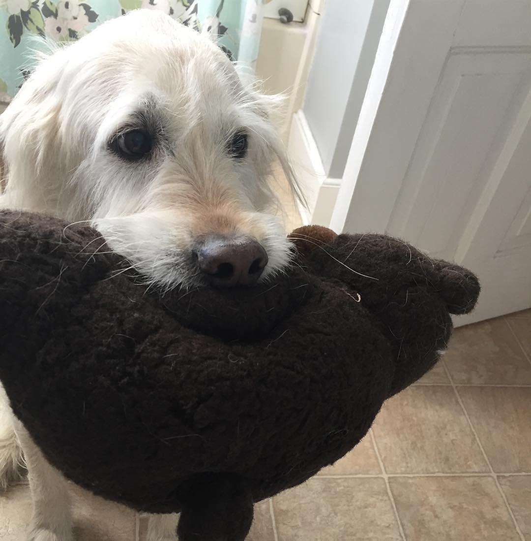 Ruthie's Labradoodle, Louie.